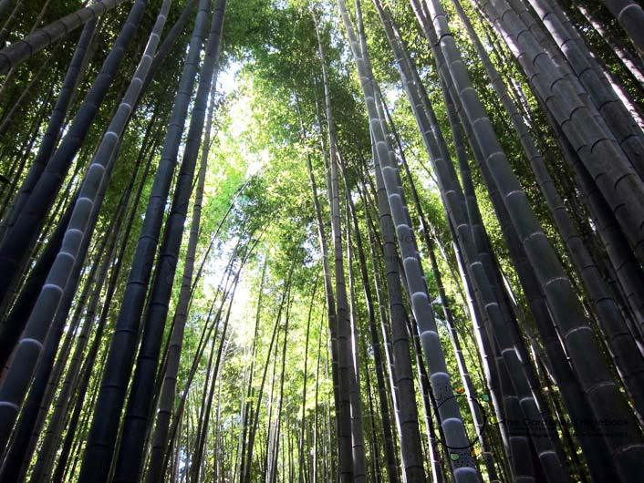 Diventa socio onlymoso e investi in una coltivazione di bamb for Vendita piante bambu gigante